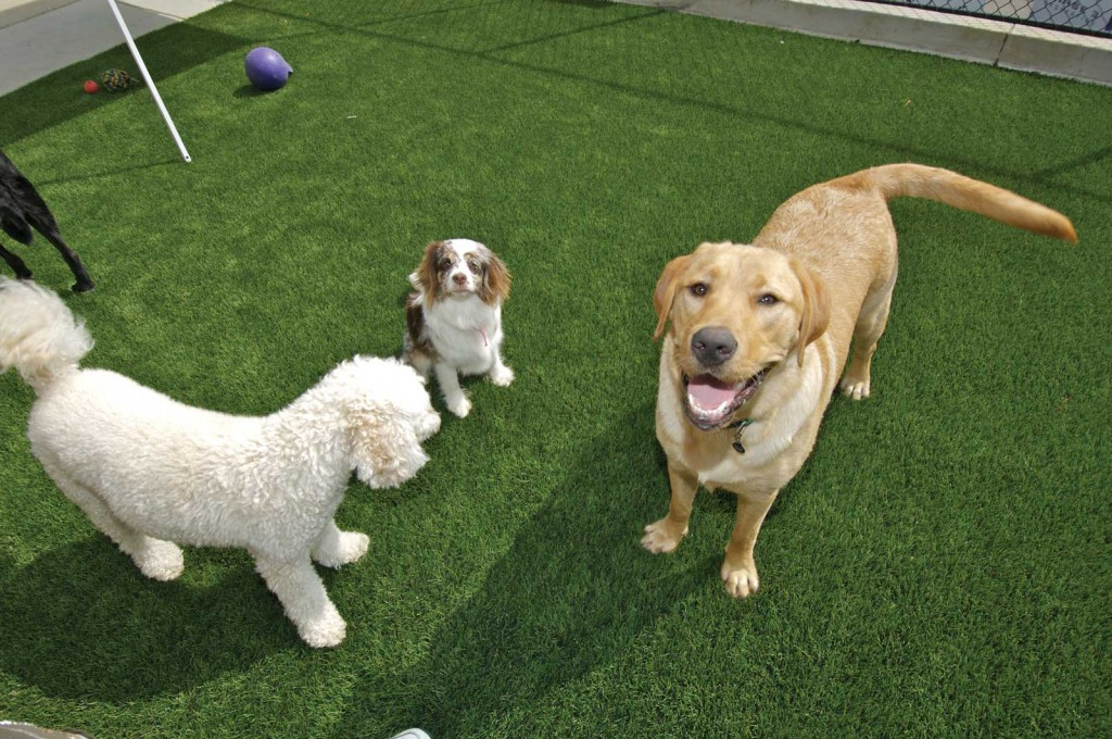 Dogs on Artificial Grass