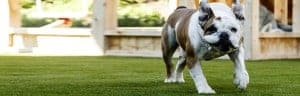 Artificial Grass for Dogs